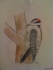 WoodPecker with Color Pencils by Nithin Lankepalli